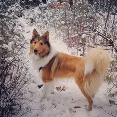 Scottish Collie Thane enjoying a walk in the snow. Scotch Collie, Rough Collie, Sheltie, City Life, Livestock, Animals Beautiful, Doggies, Daisy, Corgi