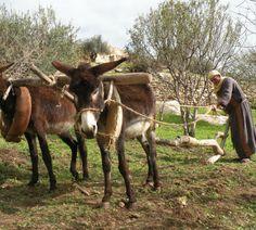 nazareth village plow donkey - Google Search