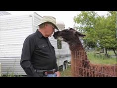 """Guard llamas in Park Rapids, MN. These are rescue llamas including Oscar that his owner calls """"the bravest llama I've ever seen. Park Rapids, Time Wasters, Lake Titicaca, Andes Mountains, Llama Alpaca, Alpacas, Animals Beautiful, Brave, Fiber"""