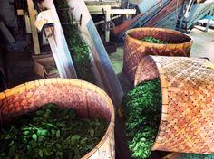 宇治の茶摘み体験 #京都
