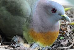 Pink necked green pigeon - Google Search
