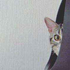 #家政婦は見た #家政婦は見たにゃ  #ねこ #ねこ部 #猫 #ネコ #あめしょ #アメショ  #アメリカンショートヘア  #にゃんだふるらいふ #ニャンスタグラム #ネコスタグラム #にゃんすたぐらむ #にゃんこ  #キャット #catstagram  #cat #catsofinstagram #lovecats #americanshorthair #instacat #スタペグラム #みんねこ  #美猫 #愛猫  #猫好きさんと繋がりたい  #関西ねこ部  #あめお