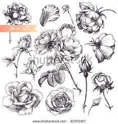 Flower set: highly detailed hand drawn roses. by Liliya Shlapak, via Shutterstock