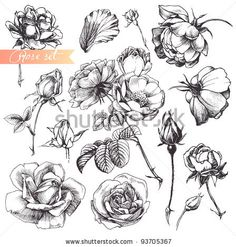 Flower set: highly detailed hand drawn roses. by Shlapak Liliya, via ShutterStock