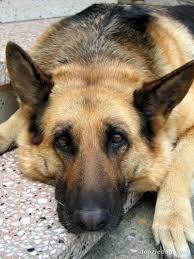 Znalezione obrazy dla zapytania german shepherd
