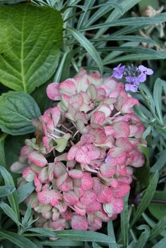 Foraging in my own garden: rosehip syrup and Hydrangea, Rosehip Syrup, Garden Inspiration, Plants, Syrup, Hydrangea Tree, Flora, Plant, Hydrangea Macrophylla