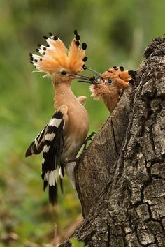 "A Hoopoe: ""Chick Feeding Time.""   A Hoopoe is The National Bird of Israel.                        (Photo By: Helena Kuchynková.)"