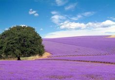 Texas Hill Country Lavender