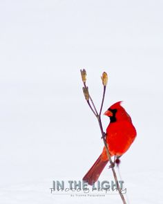 Cardinal in Snow 2  fine art photography by InTheLightPhoto