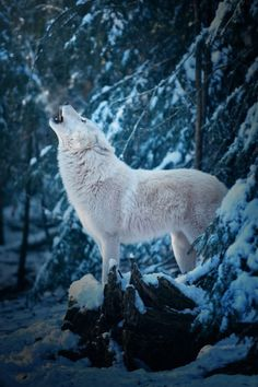 wolverxne:  Good Morning Call of an Arctic Wolf | by: { Michael...