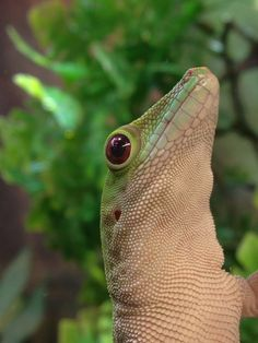 Koch's day gecko at Evolution Reptiles