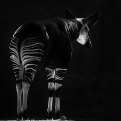 Really cool photo of an Okapi (by Amy Buxton) Most Beautiful Animals, Beautiful Creatures, Really Cool Photos, Okapi, Tropical Forest, Vertebrates, Camels, African Animals, Light And Shadow