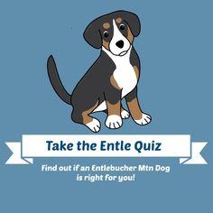 Take the Quiz & Find out if the Entlebucher Mountain Dog is the Perfect Dog for You! #EntlebucherMountainDog #Sennenhund #Cattledog #Entle