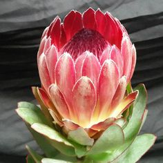 The highest grade fresh African Cape Proteas available from top growers and farms in the Western Cape available for international export from South Africa. Protea Art, Protea Flower, Flower Names, Flower Art, South African Flowers, Jungle Flowers, Australian Native Flowers, Floral Drawing, Garden Shrubs