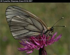 Butterfly - Mt. Erymanthos - Greece