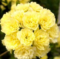And yellow carnations