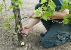 When and how to prune the vine: choice of branches Garden Planters, Garden Art, Grape Vine Pruning, Comment Planter, Garden Online, Outdoor Baths, Plant Cuttings, Wine Collection, Green Life