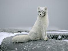 Canada, le volpi artiche a rischio estinzione