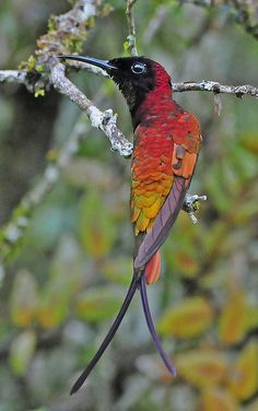 Crimson Topaz Hummingbird, found in Brazil, Colombia, French Guiana, Guyana, Peru, Suriname & Venezuela. Natural habitat is subtropical or tropical moist lowland forests.   Ven09_D300_0691a   Flickr - Photo Sharing!