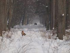 fox on first plan ... and wild boar in background; Białowieża Biodiversity Academy www.WEJMUTKA.pl