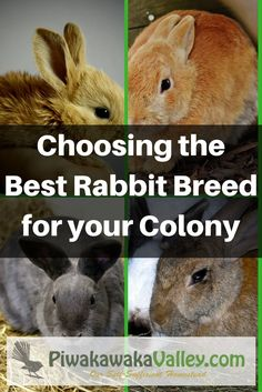 How to choose the best meat rabbit for a colony. Not all rabbits are suited for colony life, here is a guide to choosing the best meat rabbit for your situation. Best Rabbits for the Homestead Meat Rabbits Breeds, Raising Rabbits For Meat, Rabbit Breeds, Rabbit Farm, Pet Rabbit, Grand Popo, Silver Fox Rabbit, Best Meat, Rabbit Hutches