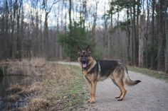 Argus going for a walk German Shepherd Pictures, Husky, Dogs, Animals, Animales, Animaux, Pet Dogs, Doggies, Animal