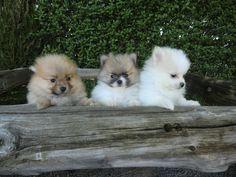 Perros Pomerania en venta - Criadero Cantillana