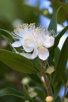 Mirta - myrtle flowers (Myrtus communis) spontaneous in coastal regions (can grow in continental parts of Croatia if planted) (most beautiful fragrance)