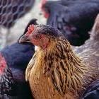 The Surprising Benefits of Raising Ducks: Organic Gardening