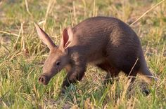Aardvark ~ Aardvarks are nocturnal. They spend the hot African afternoon holed…