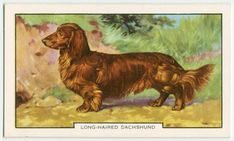 Long-haired dachshund cigarette card from New York Public library collection Arte Dachshund, Dog Artwork, Long Haired Dachshund, New York Public Library, Old Postcards, Still Image, Moose Art, Long Hair Styles, Pets