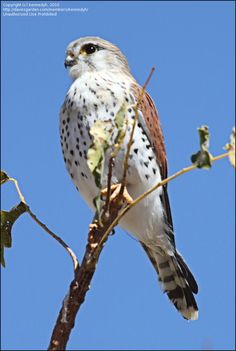 Spotted Kestrel (Falco moluccensis); classified as least concern (LC); 11-12 inches tall with a wingspan of 24-26 inches.