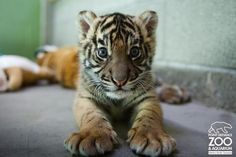 The Votes Are In! Point Defiance's Male Sumatran Tiger Cub Has His Name