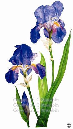 Catherine BRASEBIN  Iris germanica