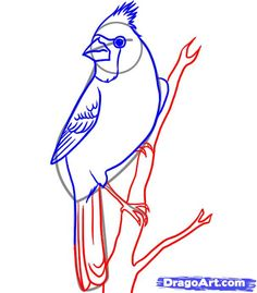 how to draw a cardinal step 4
