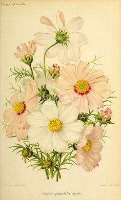 flowers-27877  cosmos spectabilis Cosmos bipinnatus garden