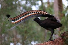 The song of the Lyre Bird is comprised of a mixture of its own song and a number of mimicked sounds/noises; Lyrebirds most commonly mimic other birds, or other animals (eg; koalas and dingoes). All Birds, Love Birds, Pretty Birds, Beautiful Birds, Bird Pictures, Animal Pictures, Australian Animals, Exotic Birds, What Is A Bird