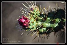 Cactus flower by jondavatz. Please Like http://fb.me/go4photos and Follow @go4fotos Thank You. :-)