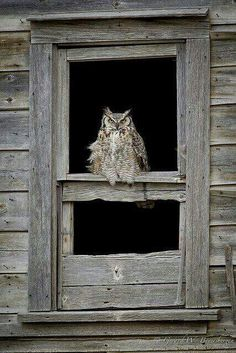 Owls are the new cats — steelromanticism: Great Horned Owl Owl Photos, Owl Pictures, Owl Bird, Pet Birds, Great Horned Owl, Beautiful Owl, Wise Owl, Tier Fotos, Birds Of Prey