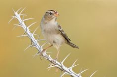 Juvenile White-crowned Sparrow on Ocotillo | by Jeff Dyck