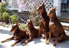 #doberman #dogs Re-pinned from Forever Friends Fine Stationery & Favors http://foreverfriends.carlsoncraft.com
