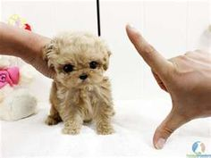 Micro Teacup Poodle - I want one!