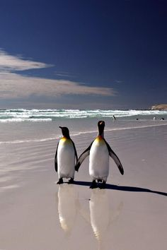 Inspiring 21 King Penguin pictures and Information https://meowlogy.com/2018/04/12/21-king-penguin-pictures-and-information/ As its name implies, it's found further south than the northern type.