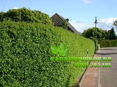 Galerie - Gard viu - Lemn Cainesc - Ligustrum ovalifolium Sidewalk, Plant, Side Walkway, Walkway, Walkways, Pavement