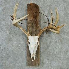 Image result for mounting european deer skulls