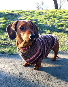 Bronte Sausage dog in her bespoke knitted jumper...  http://www.theknitteddachshund.co.uk