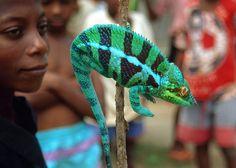 Panther Chameleon (Furcifer pardalis), via Flickr.