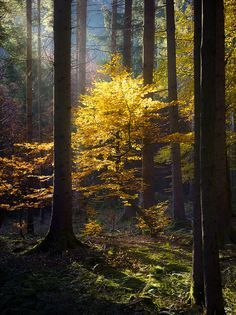 tulipnight: Golden tree by Martin - Soul Deep In Nature Nature View, All Nature, Amazing Nature, Magic Forest, Tree Forest, Forest Light, Golden Tree, Walk In The Woods, Autumn Trees
