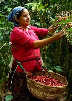 Coffee farm in Santa Vulcano, El Salvador. Café Chocolate, Coffee World, Coffee Farm, Coffee Stands, Cafe Shop, Coffee Branding, Coffee Design, Fruit And Veg, Coffee Break