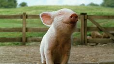 My future farm is going to have piggies and I am going to love them. I am not practical enough to eat them lol